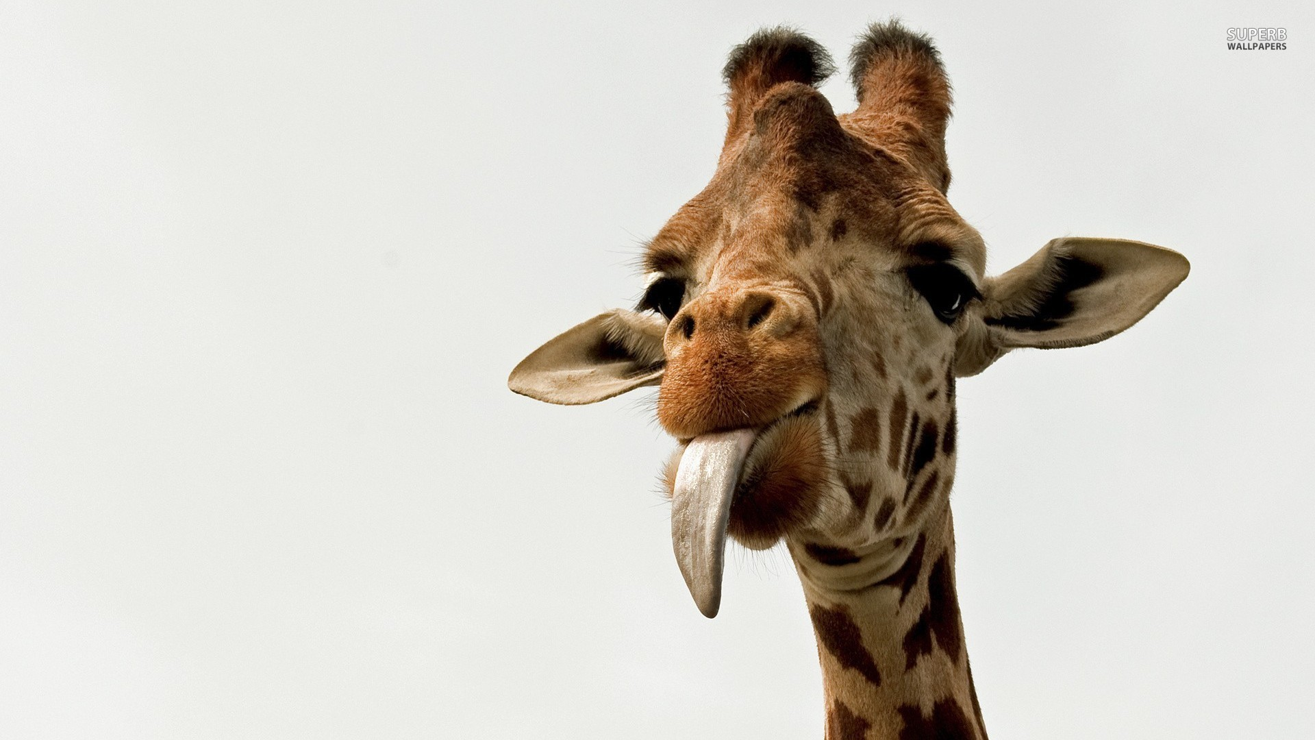 2) The means of feeding used by giraffes is called browsing.