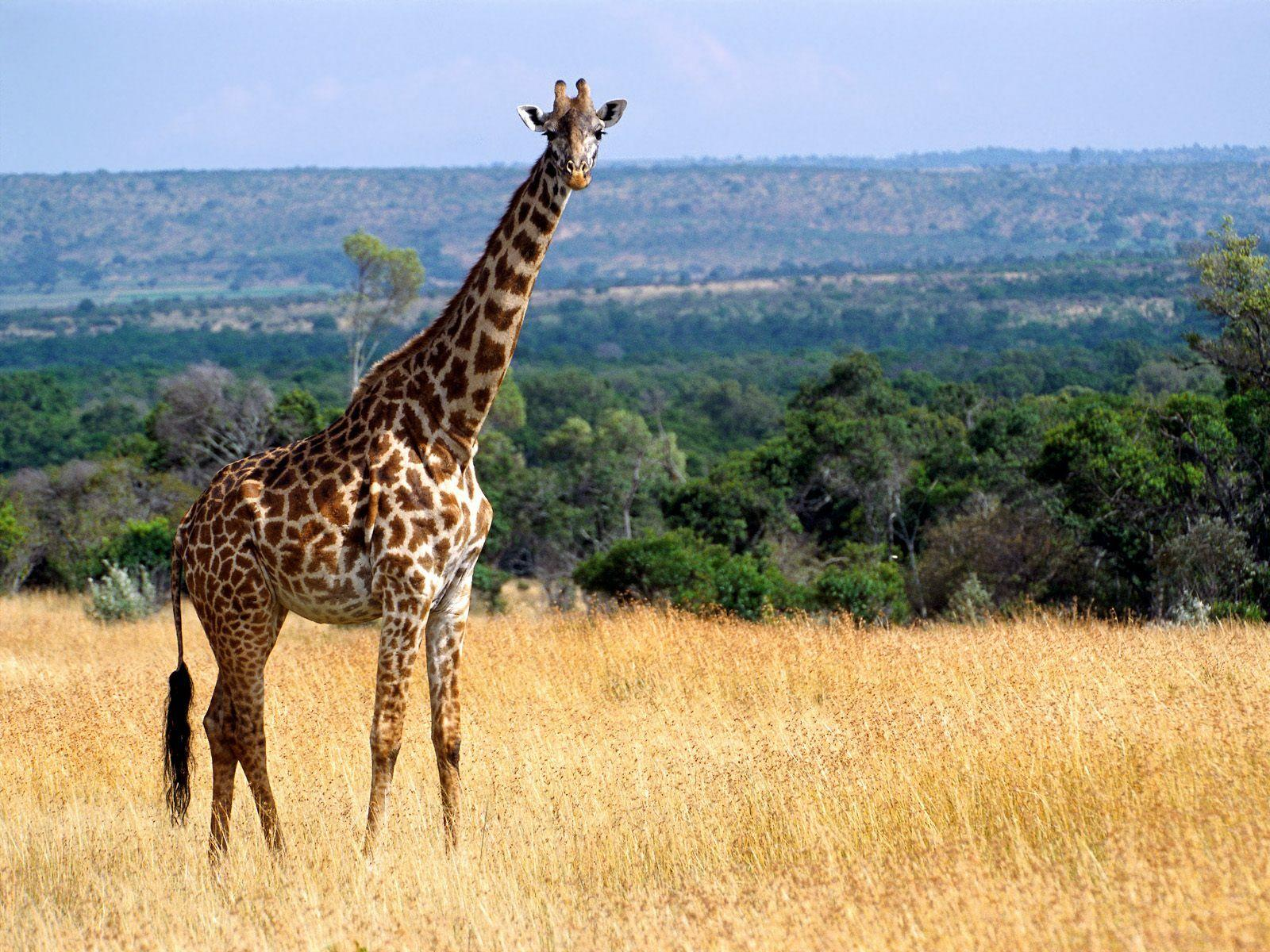 View And Download Giraffe HD Wallpapers ...