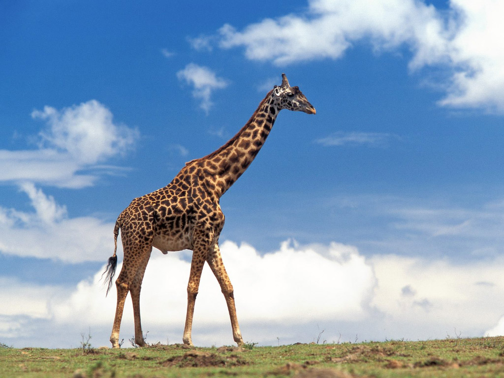 However, it has been extirpated from many parts of its former range, and some subspecies are classified as endangered. Nevertheless, giraffes are still ...