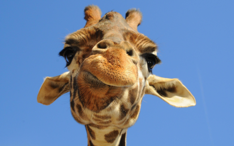 ... Giraffe #05 Image ...