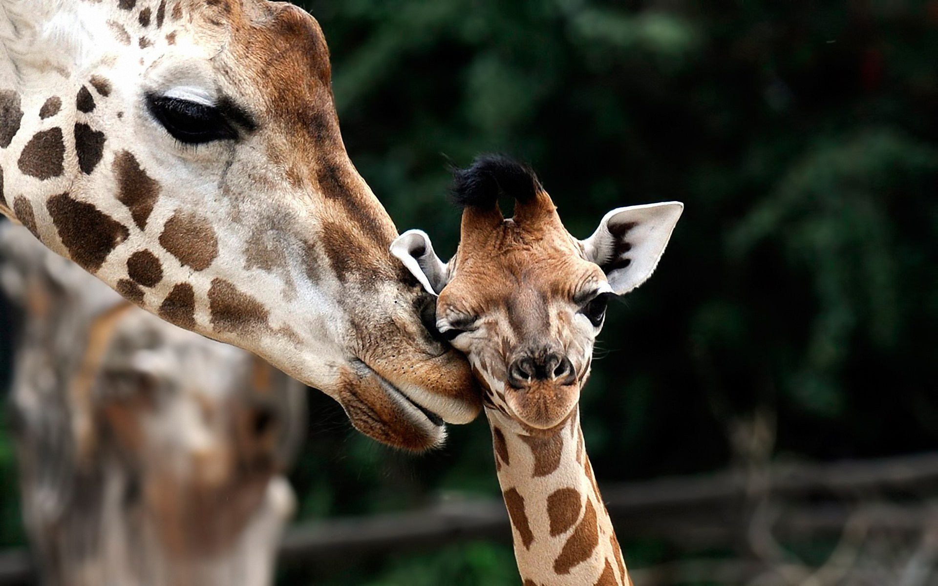 Giraffe Baby Animals