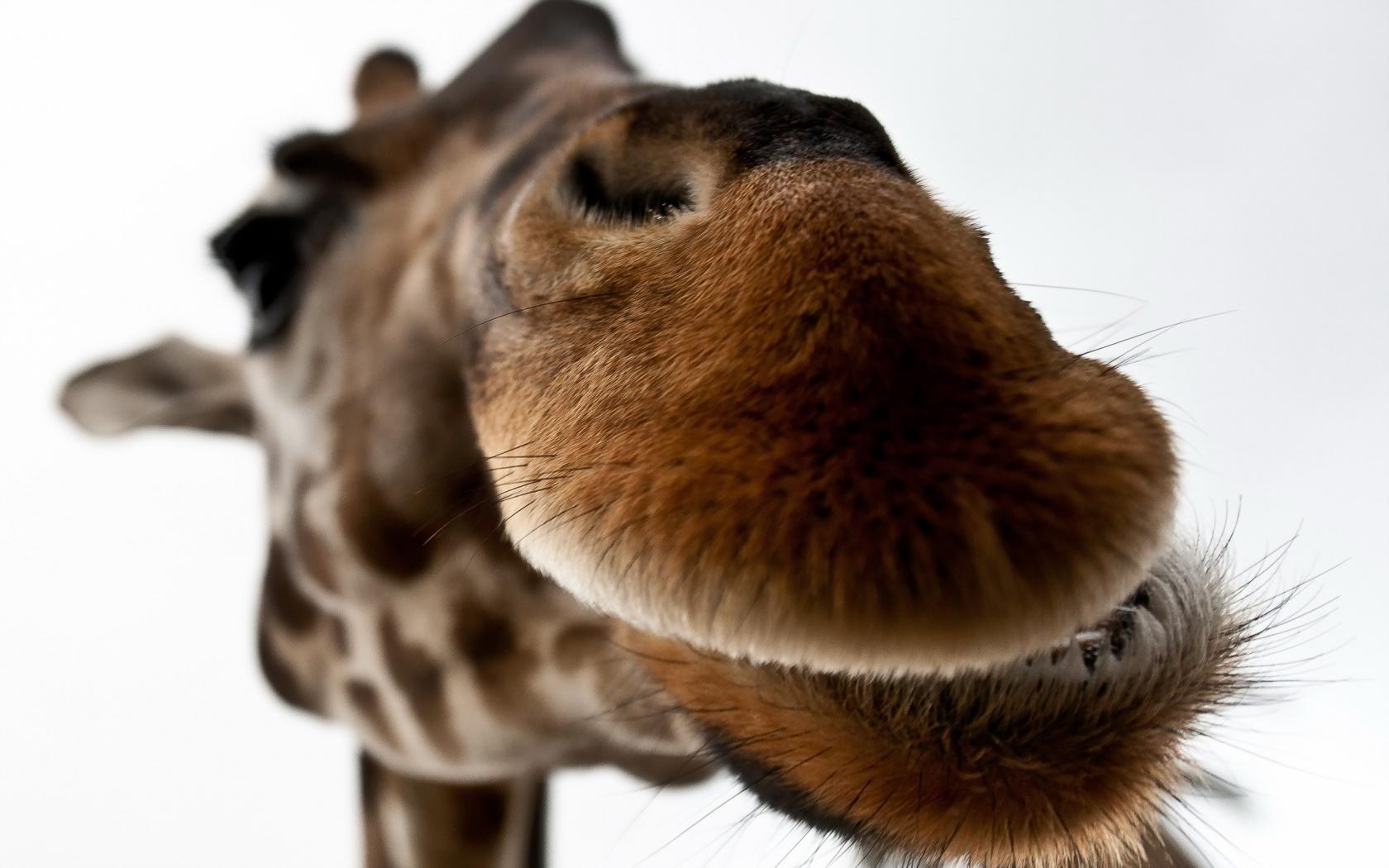 Giraffe Lips