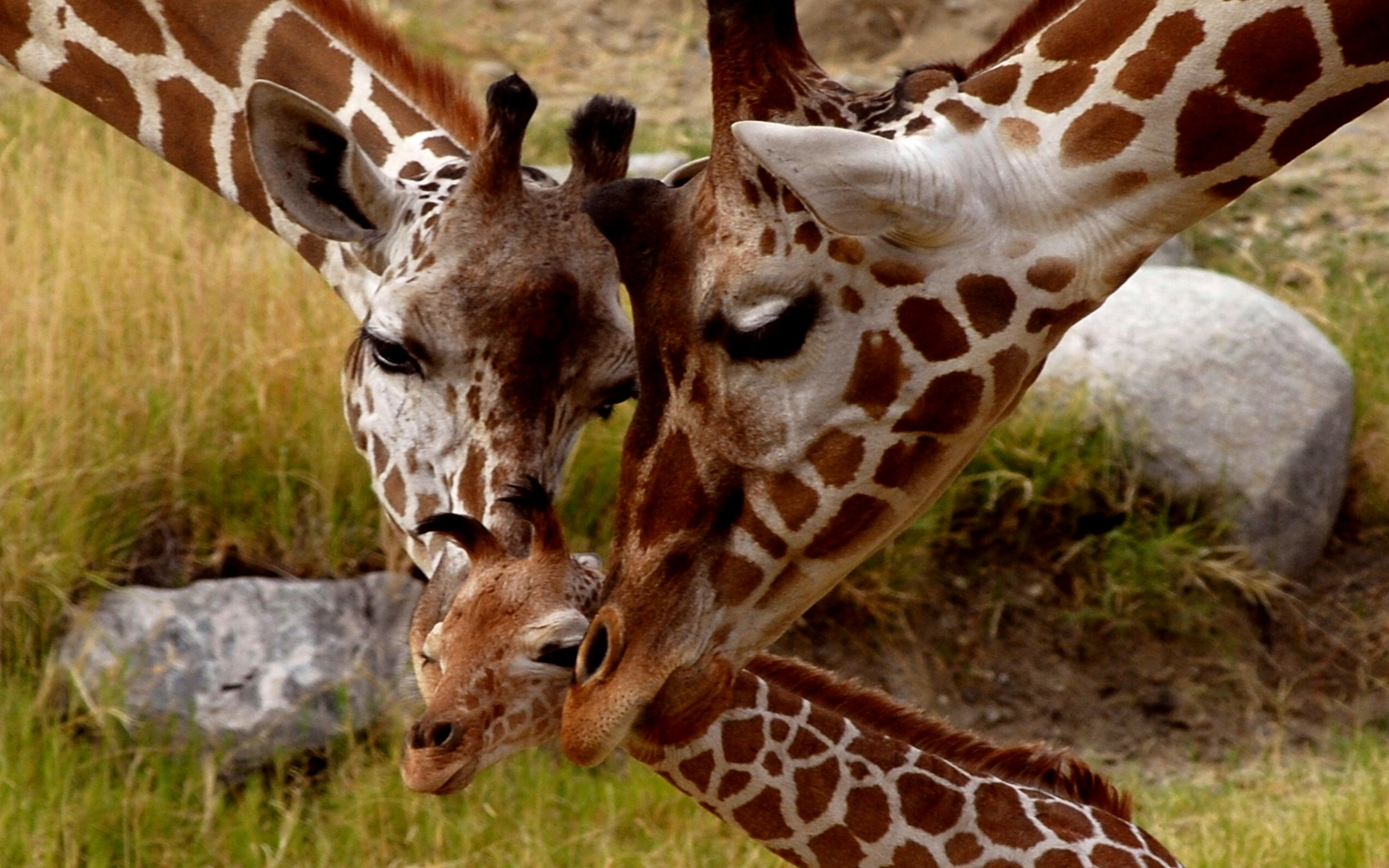 Giraffe Parental Love