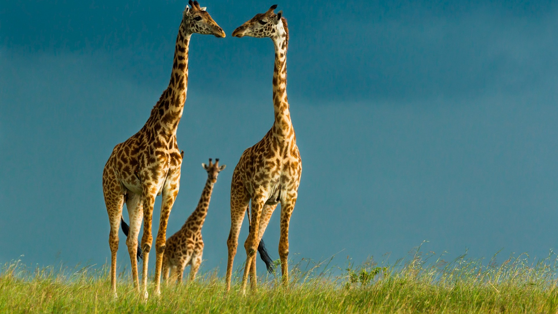 Giraffe Wallpaper Download Hd Wallpapers