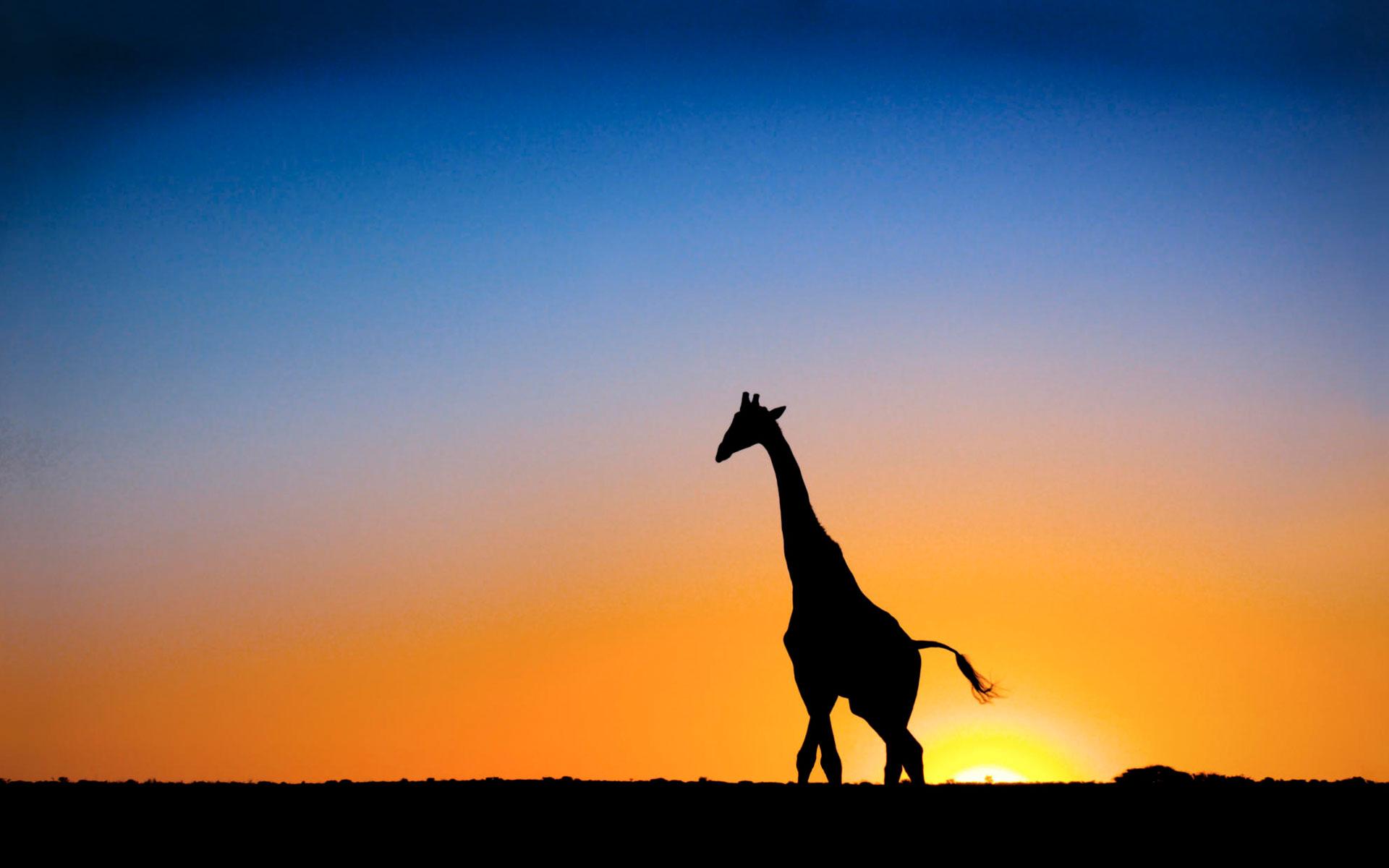 sunset giraffe botswana