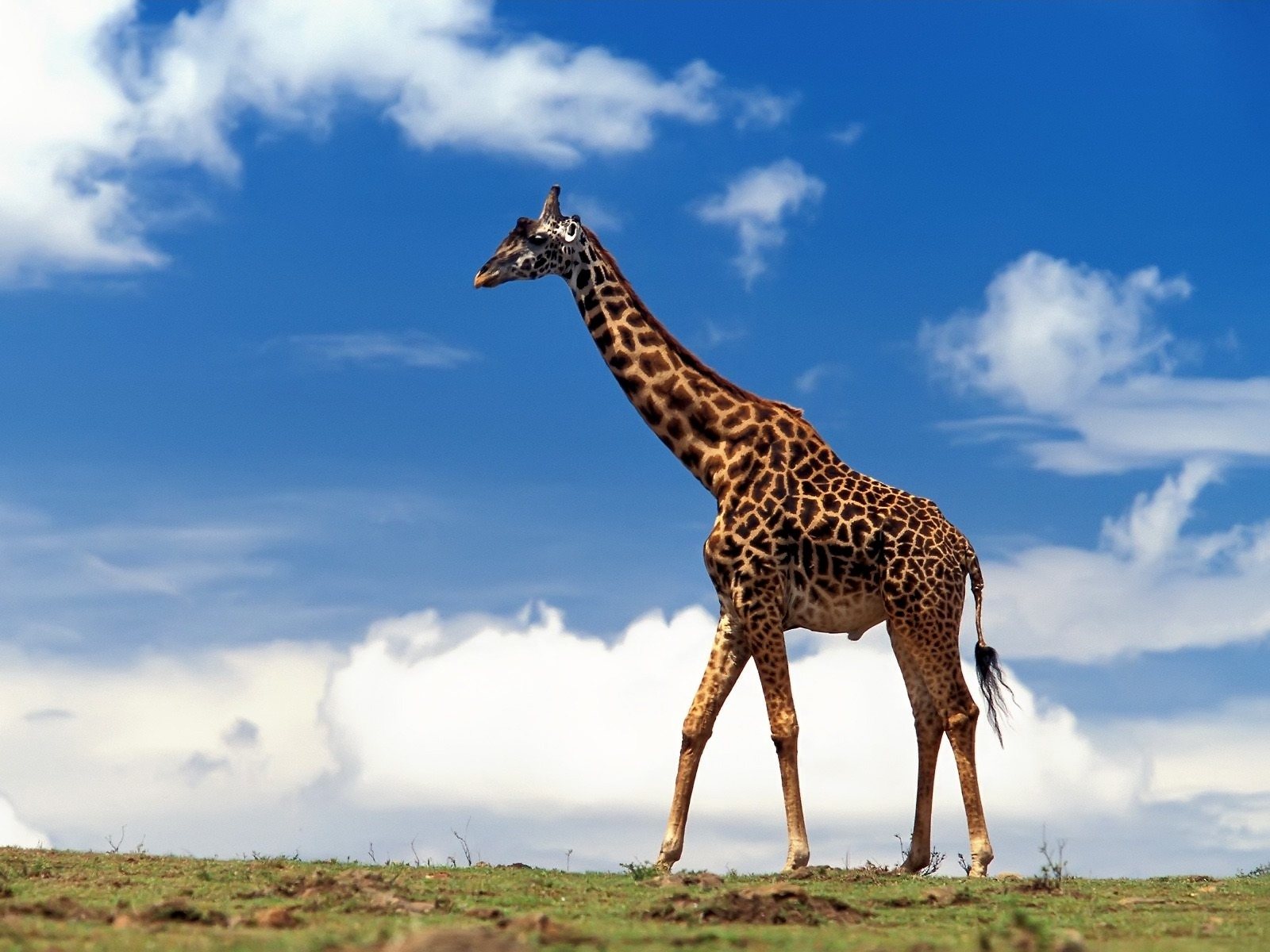 Cool Giraffe On Blue Sky Background Wallpaper Wallpaper