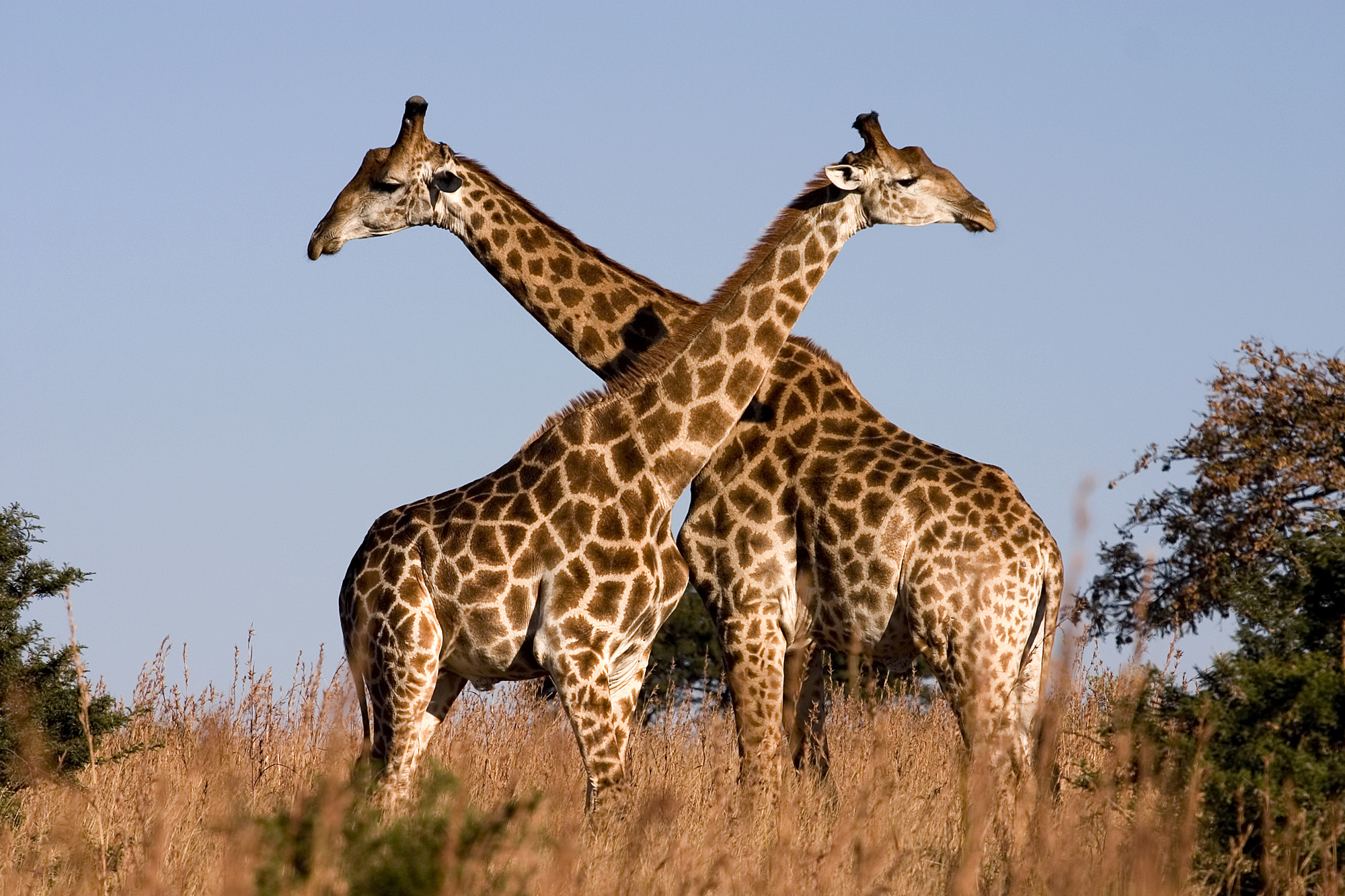 Male giraffes will engage in necking to establish dominance.