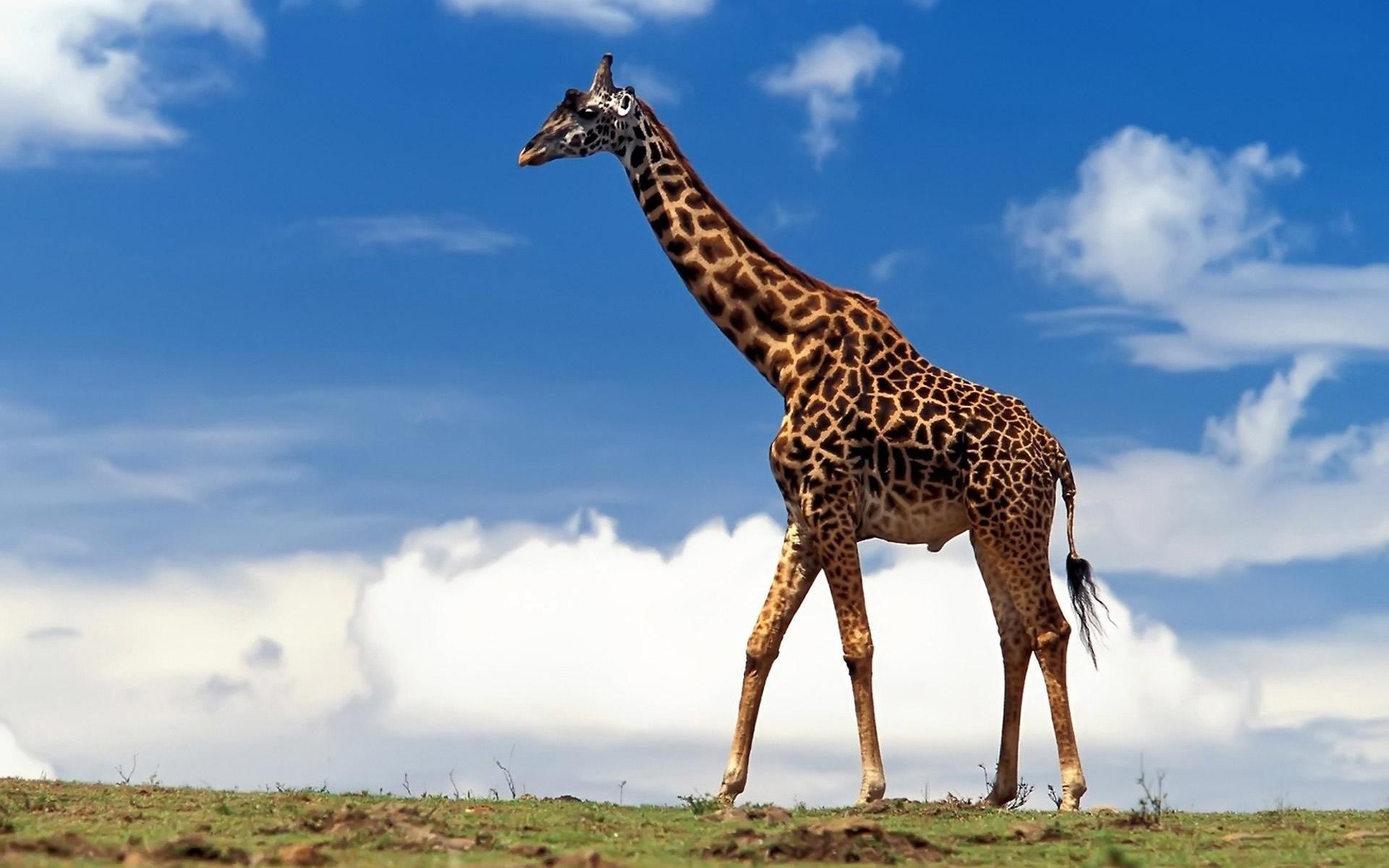 Giraffes hd