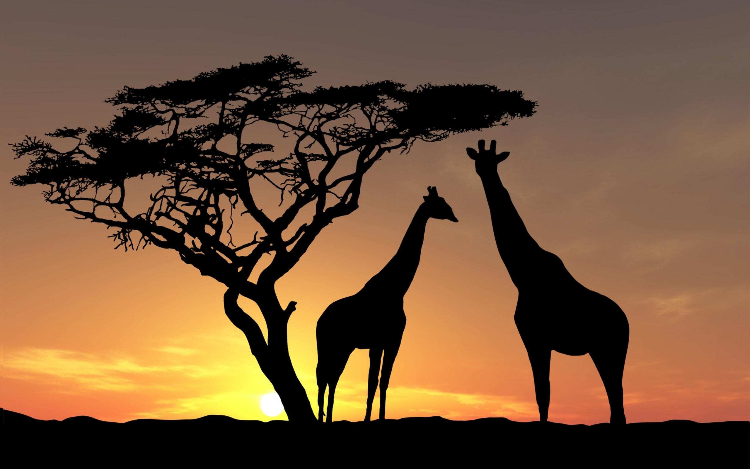 Giraffes in Sunset