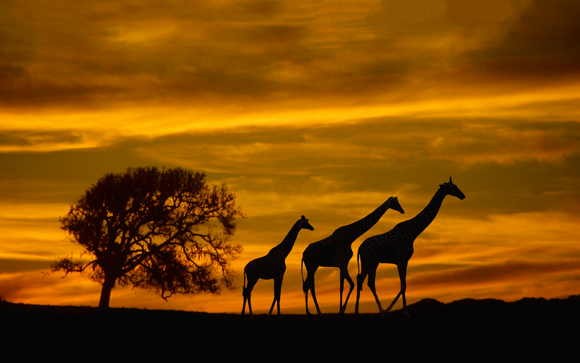 Giraffes silhouette