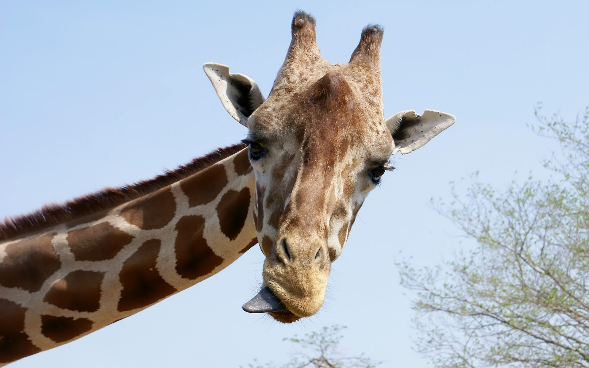 Giraffe Tongue Wallpapers - 1920x1200 - 364054 ...