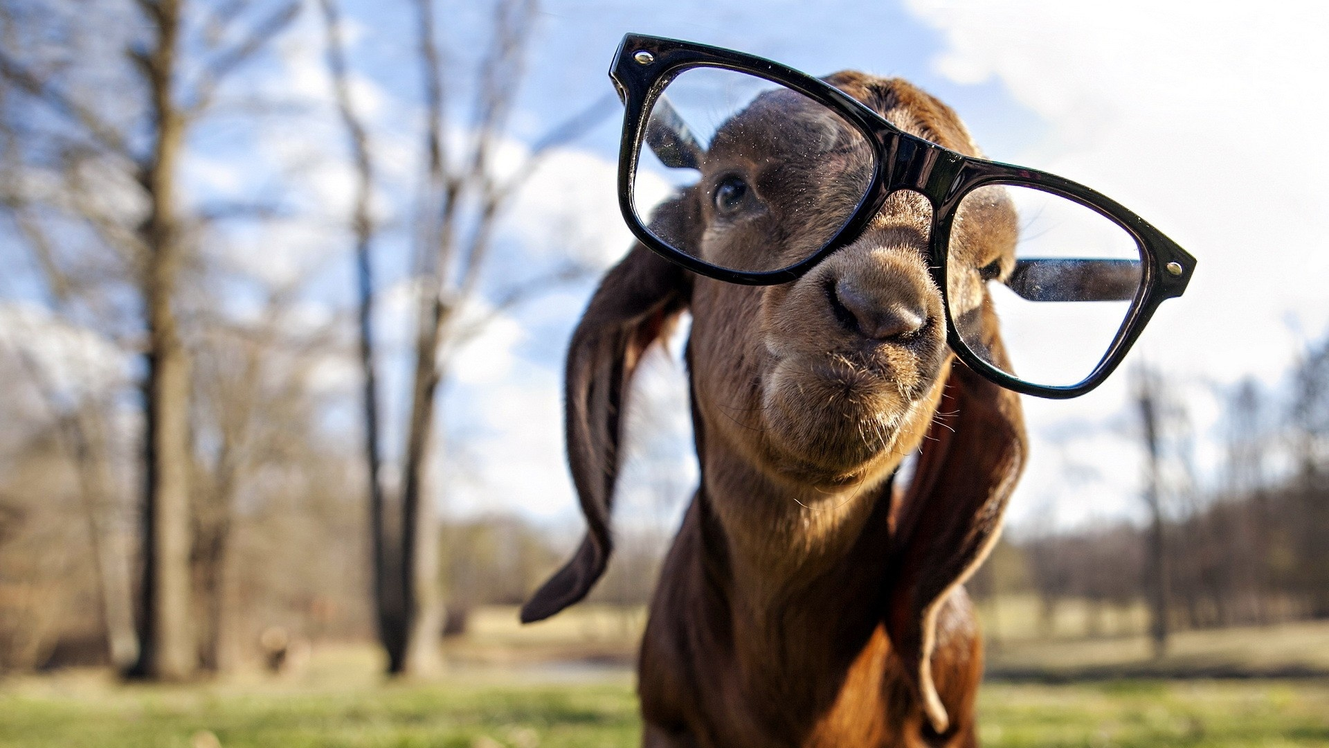 Description: The Wallpaper above is Goat with glasses Wallpaper in Resolution 1920x1080. Choose your Resolution and Download Goat with glasses Wallpaper