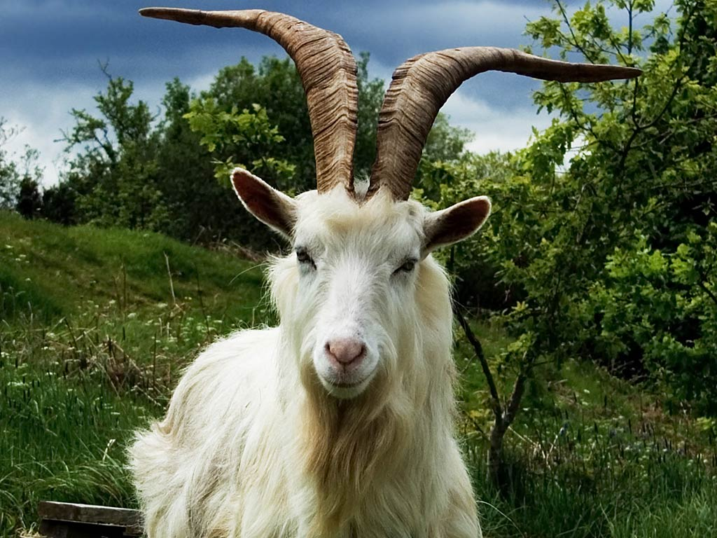 free Goat wallpaper wallpapers download