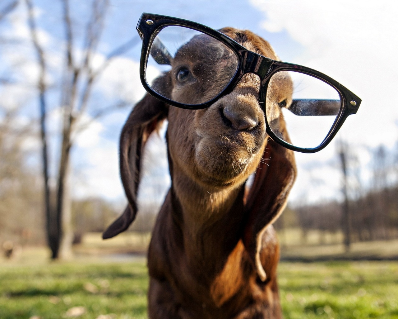 Goat with glasses
