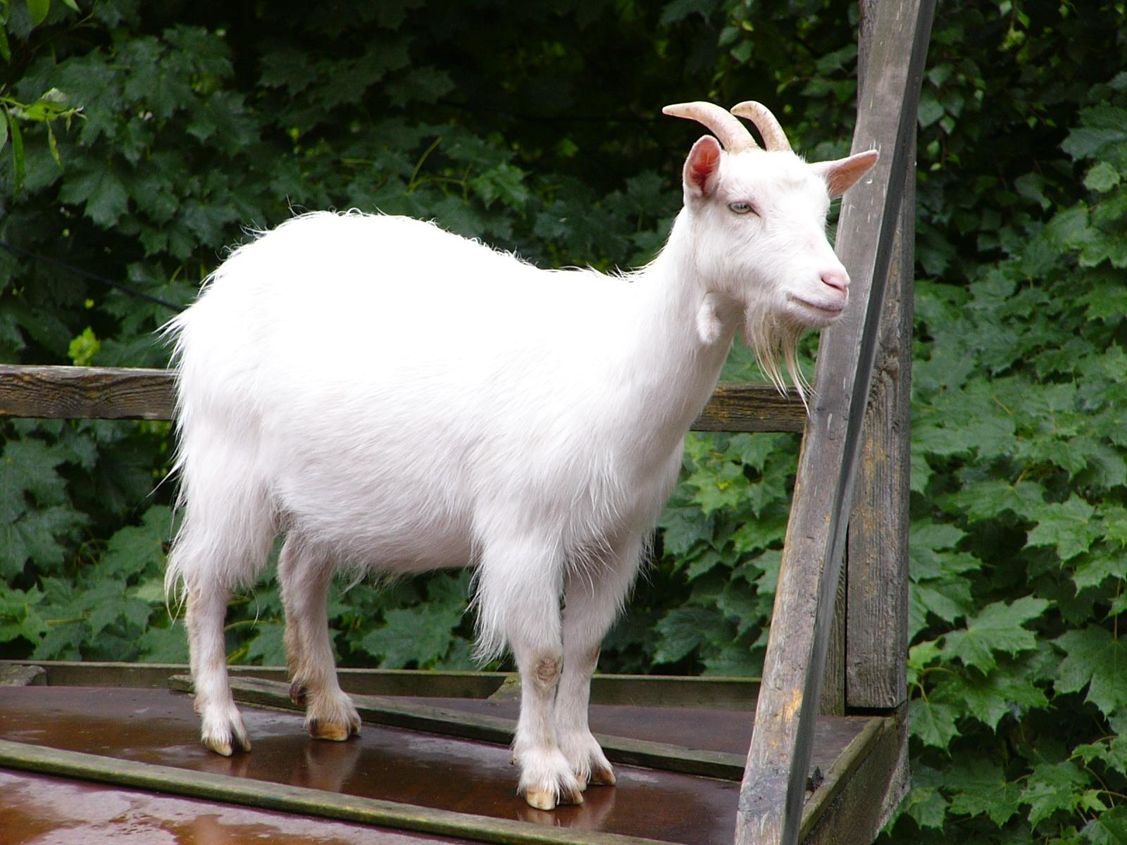 Goat- Photo#08