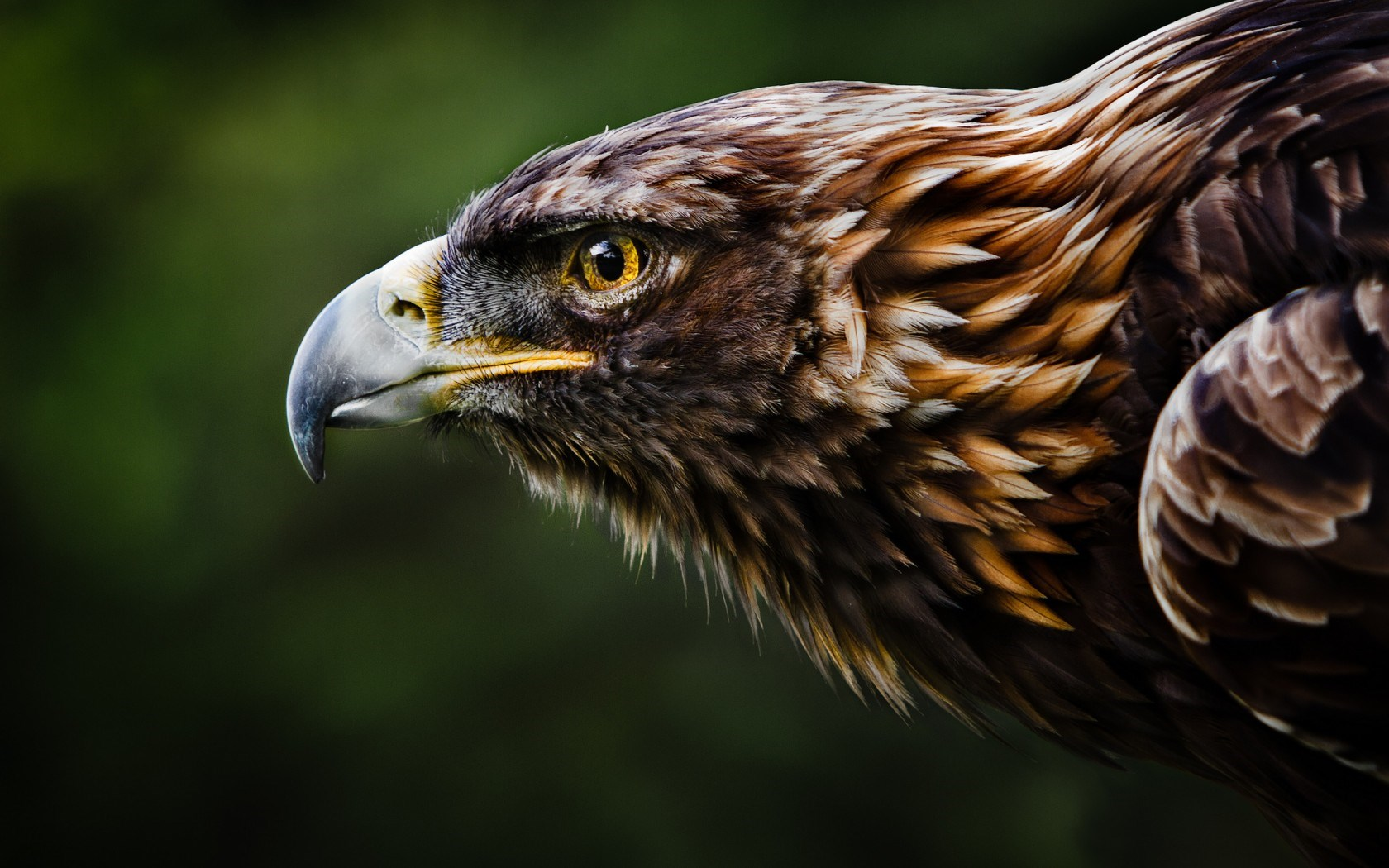 Golden Eagle Beak Profile