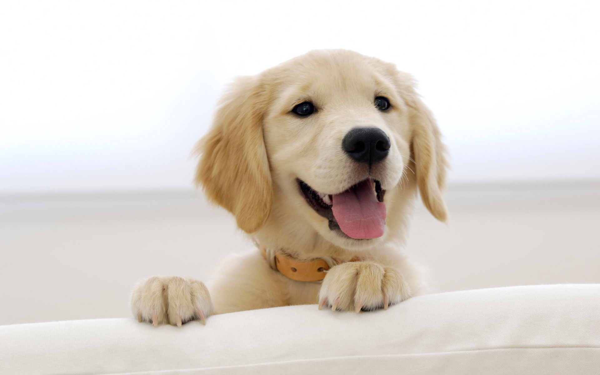 Golden Retriever- Photo#06
