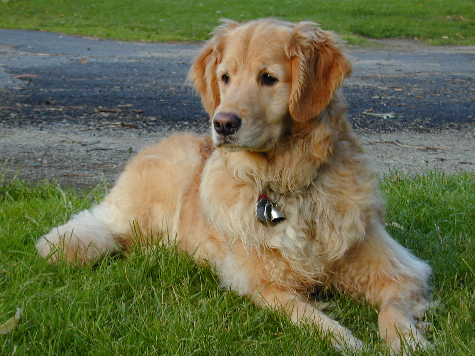 Here's a picture of our dog, Jesse, a very talented and beautiful Golden Retriever