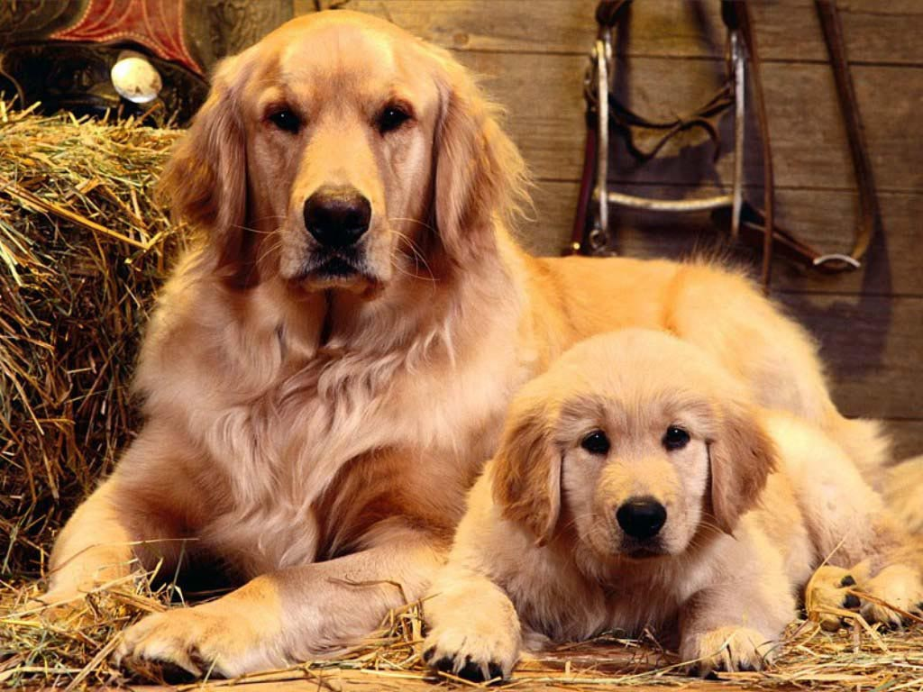 Golden Retriever Hd Background 9 Thumb