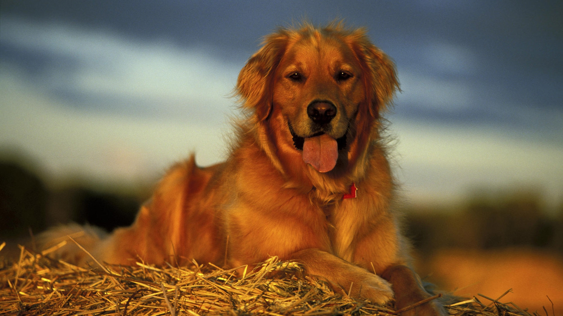 Golden Retriever Wallpaper 1920x1080 40648