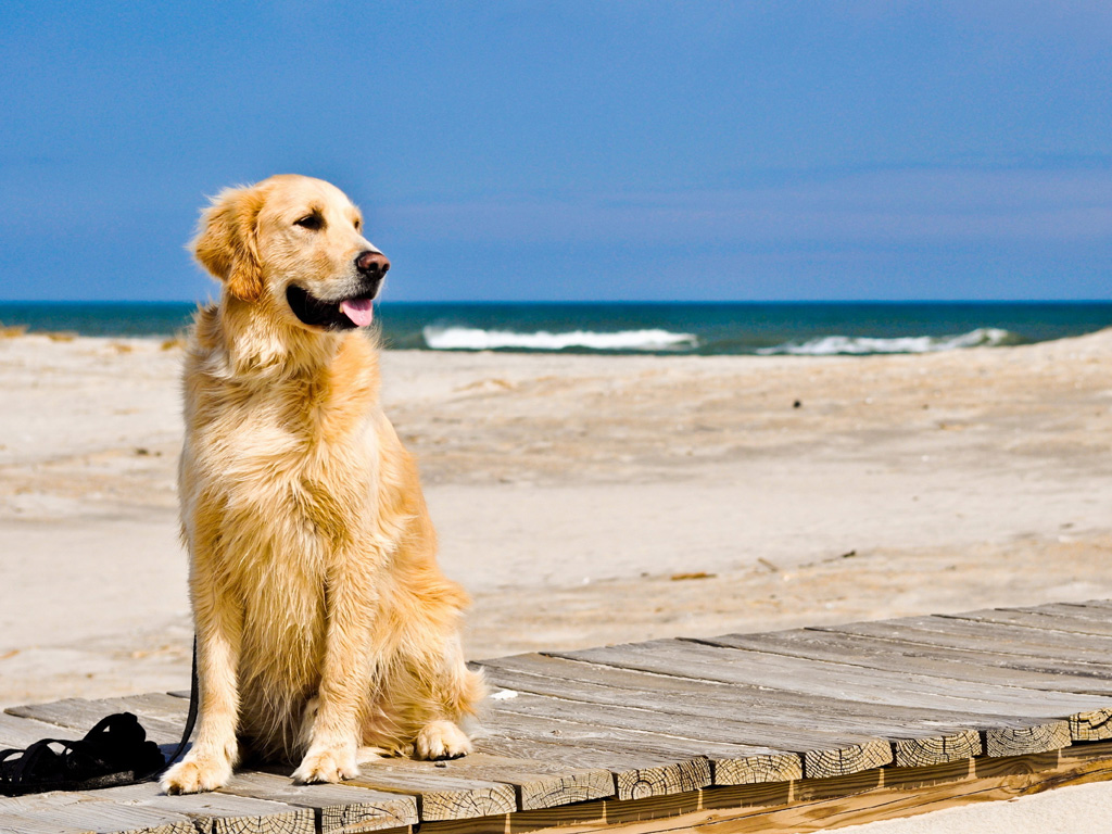 Golden retriever wallpaper for windows 7 1024x768