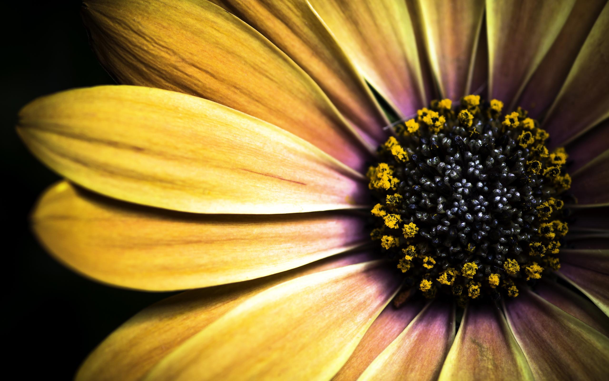 Golden shasta daisy