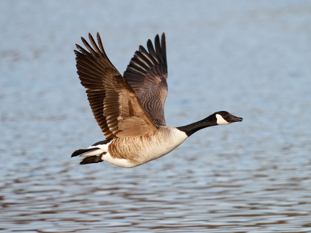 Goose Pictures