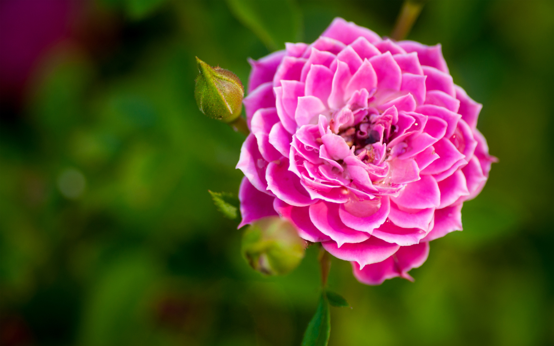 Gorgeous Pink Macro Wallpaper