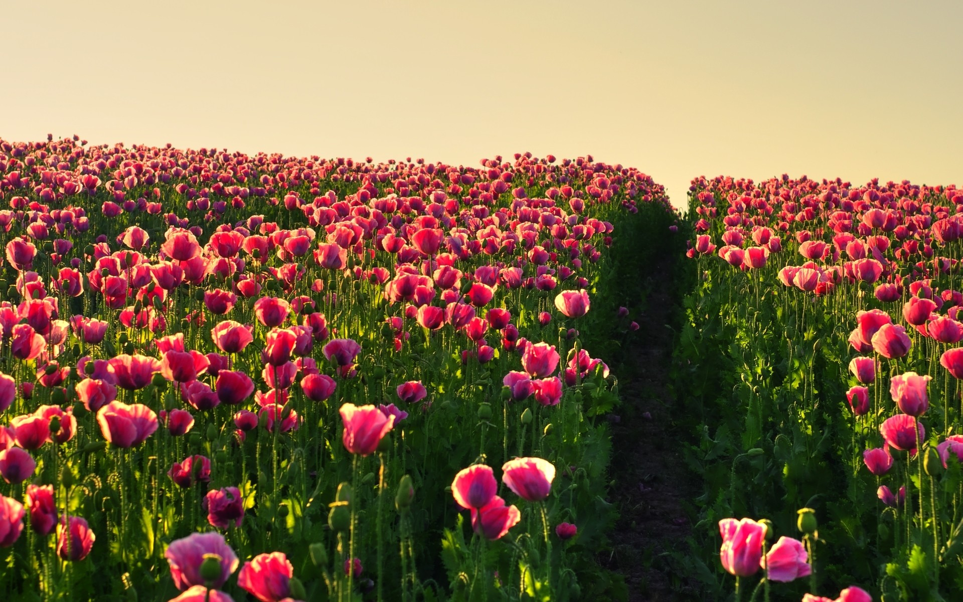 Gorgeous Tulip Field Wallpaper