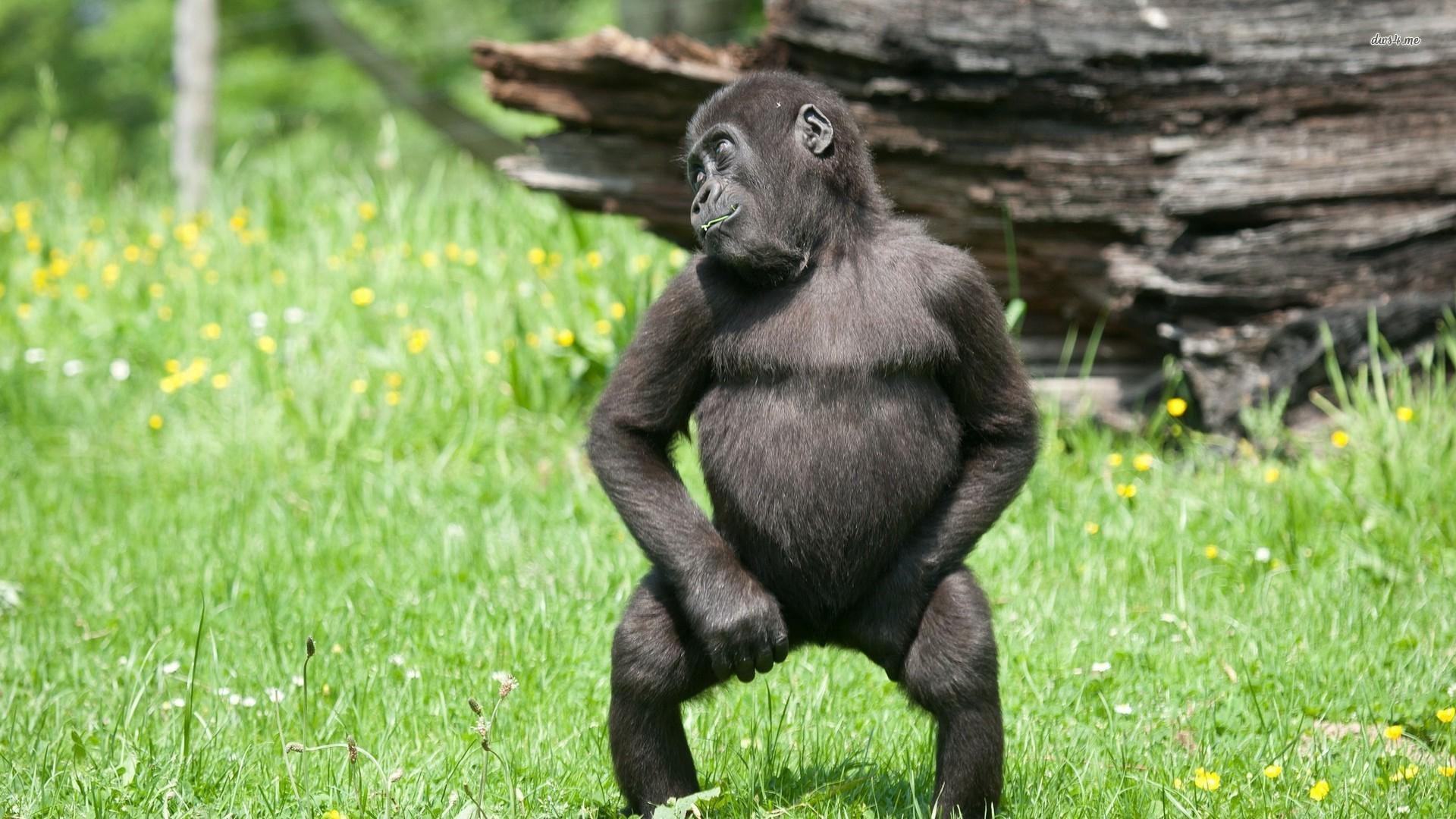 Gorilla High Definition