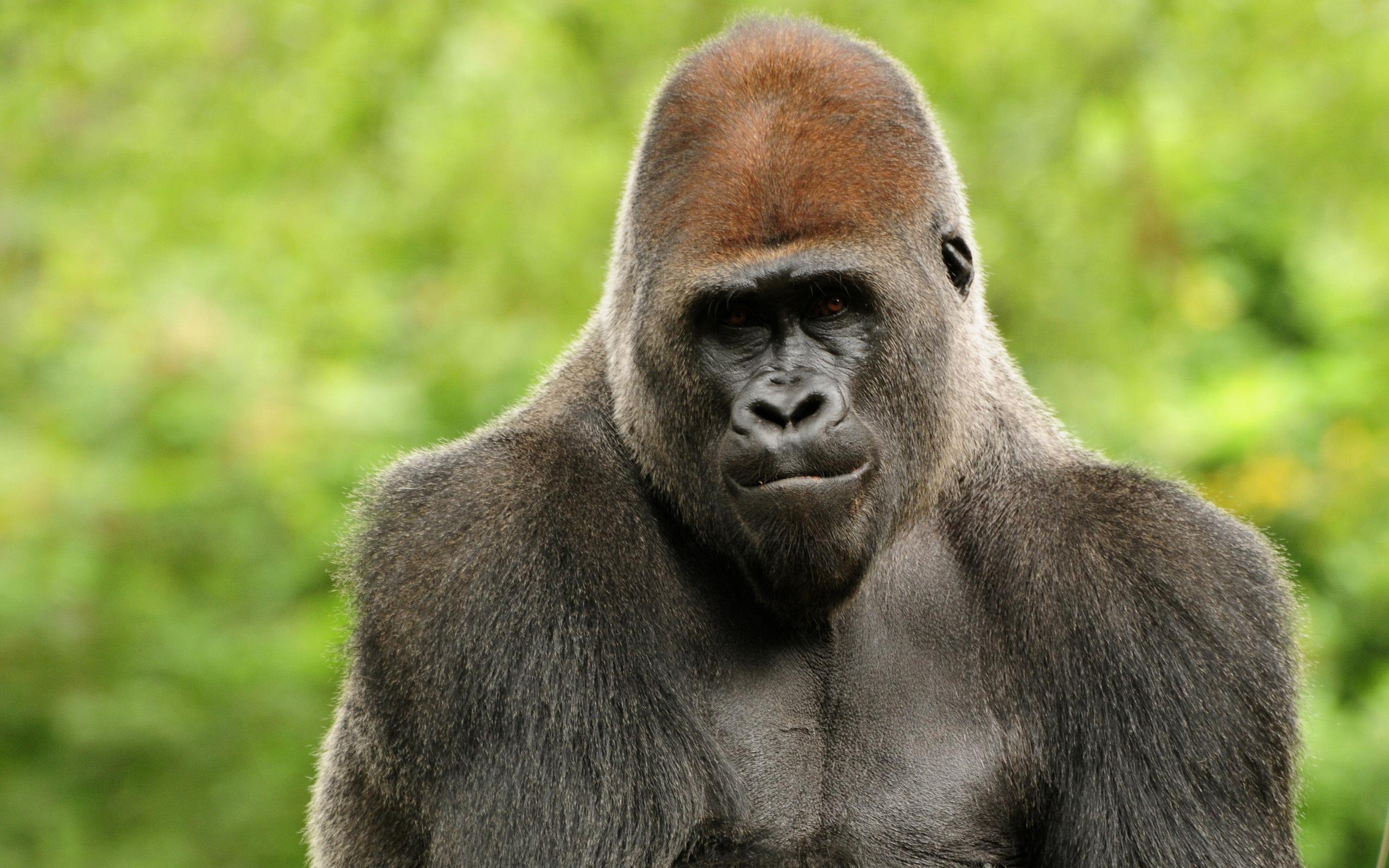 Animal Spirit, Animal Photography, Animal Hd, Gorilla Gorilla, Gorilla Wallpapers, Google Search, Los Animal, Animal Wallpapers, Animal Safari