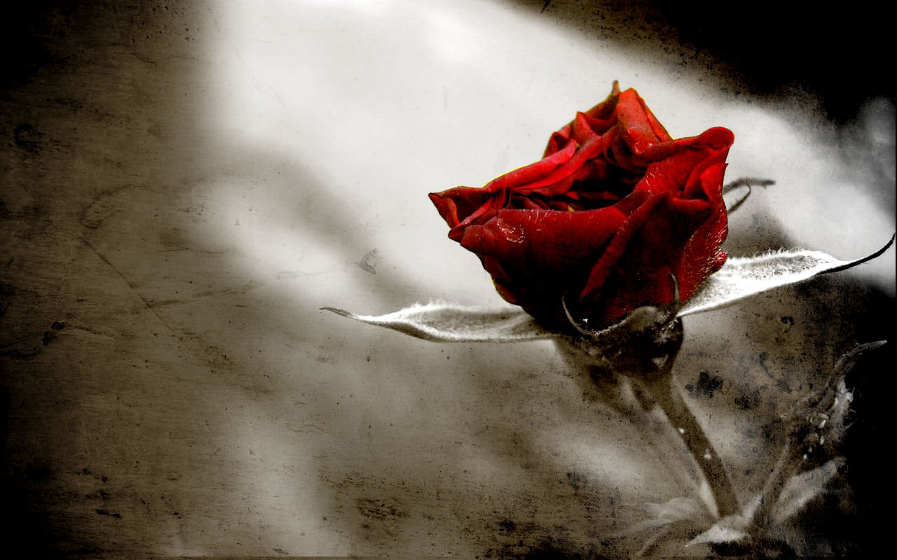Gothic Rose wallpaper for gothic/Emo/scene people