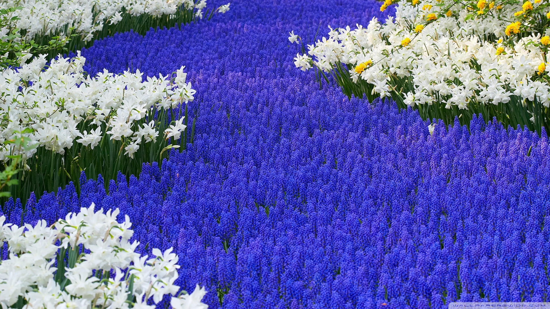 1920x1080 Grape Hyacinths And Daffodils Keukenhof Gardens Lisse Holland wallpaper