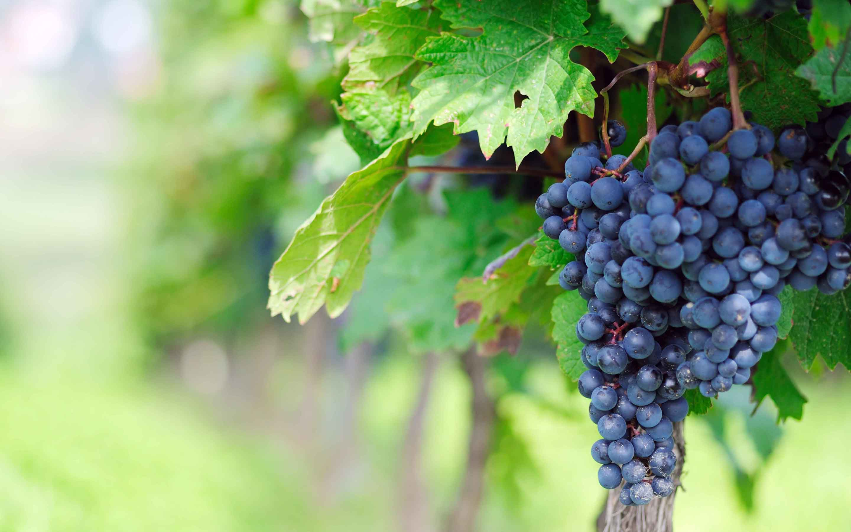 HD Wallpaper | Background ID:422066. 2880x1800 Food Grapes