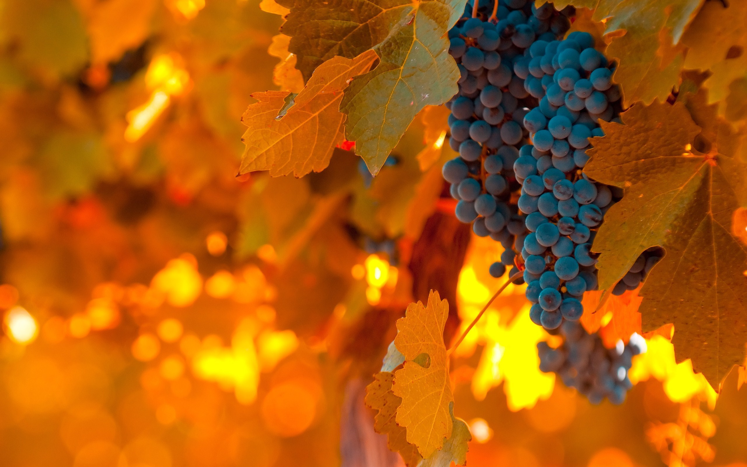 Vineyard Grapes Leaves Autumn Nature