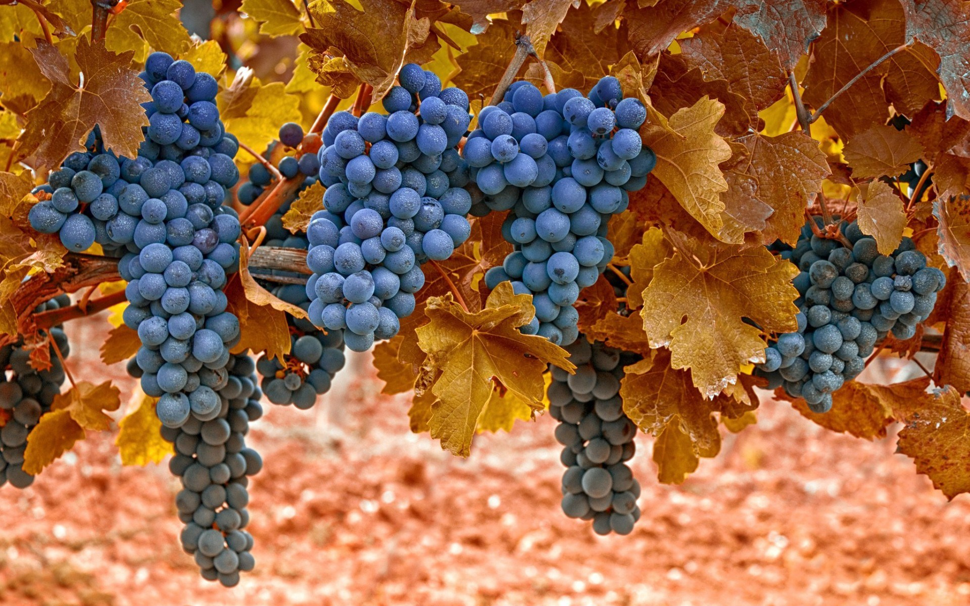 Grapes Leaves Macro Autumn Nature