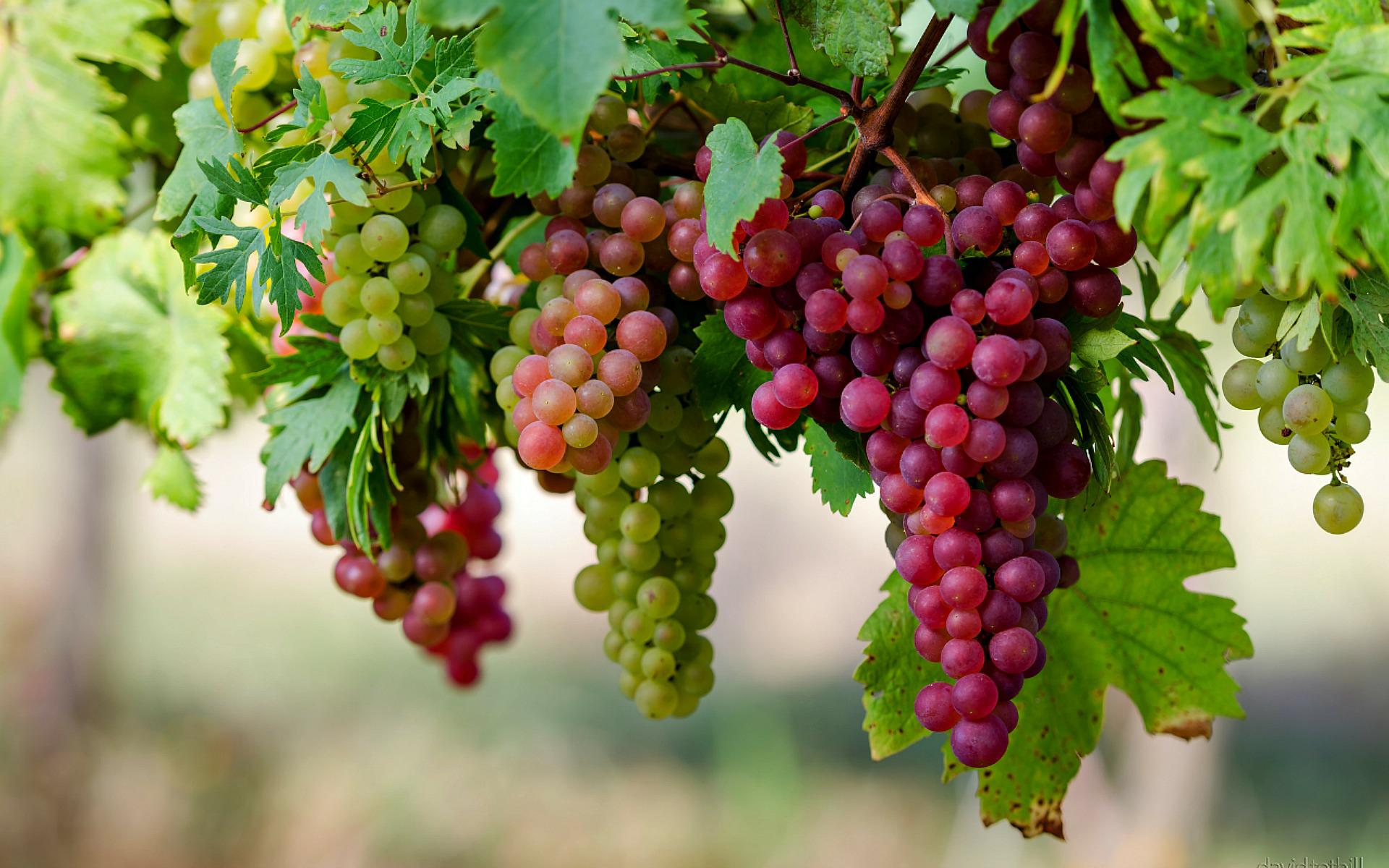 awesome grapes tree wallpaper