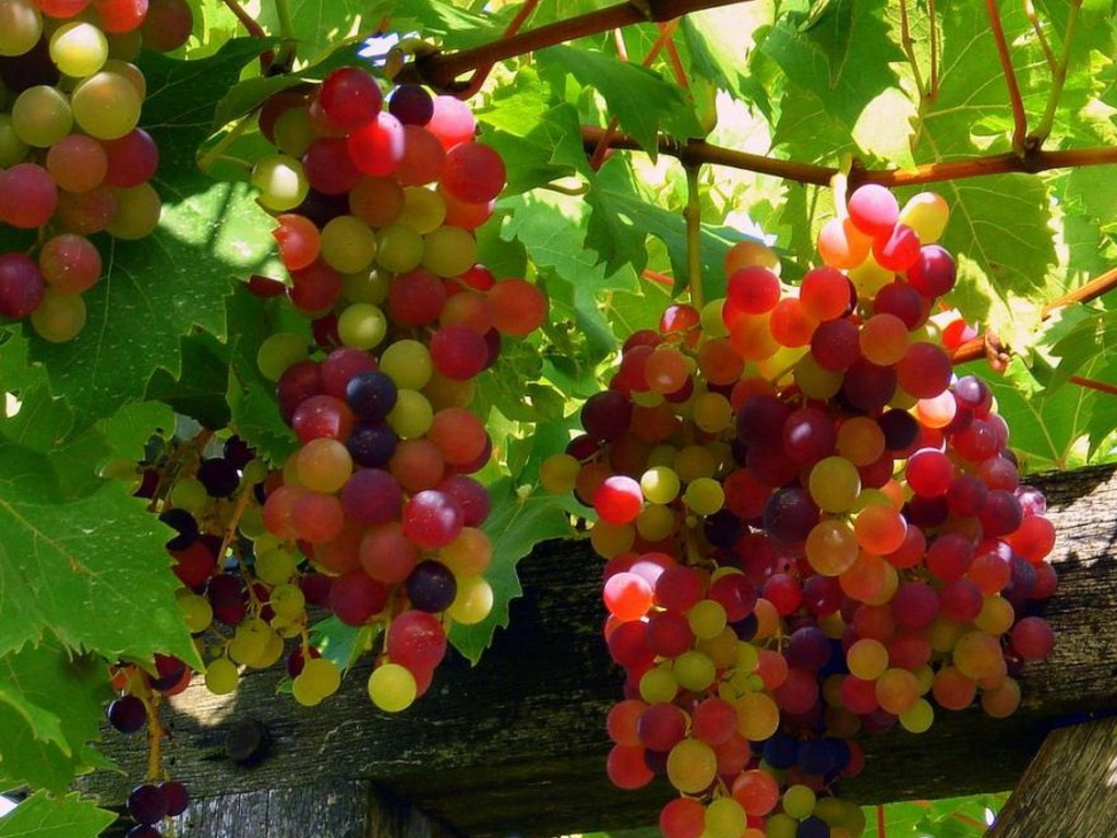 Grapes HD Wallpapers HD Wallpapers Image source from this