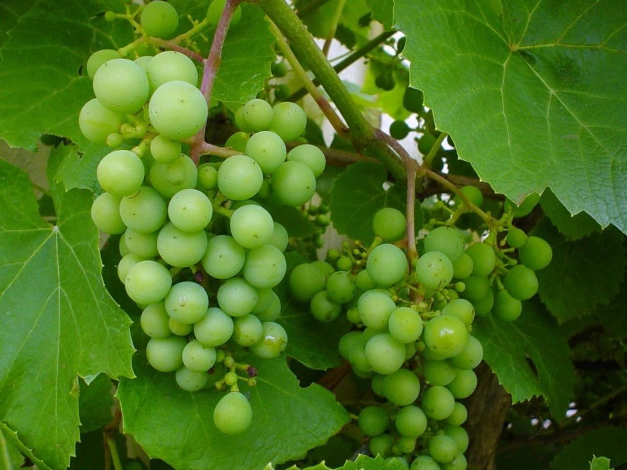 File:Grapevine green.jpg