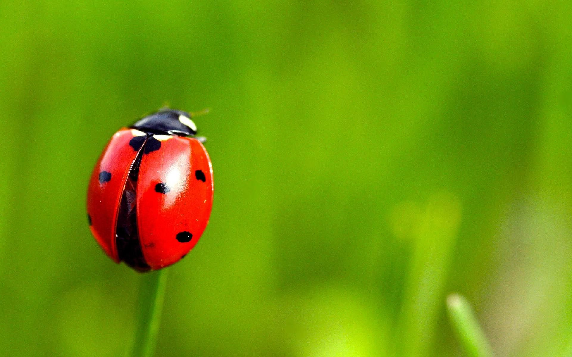 Grass Insect Ladybug Backgrounds for Desktop 23179 High Resolution