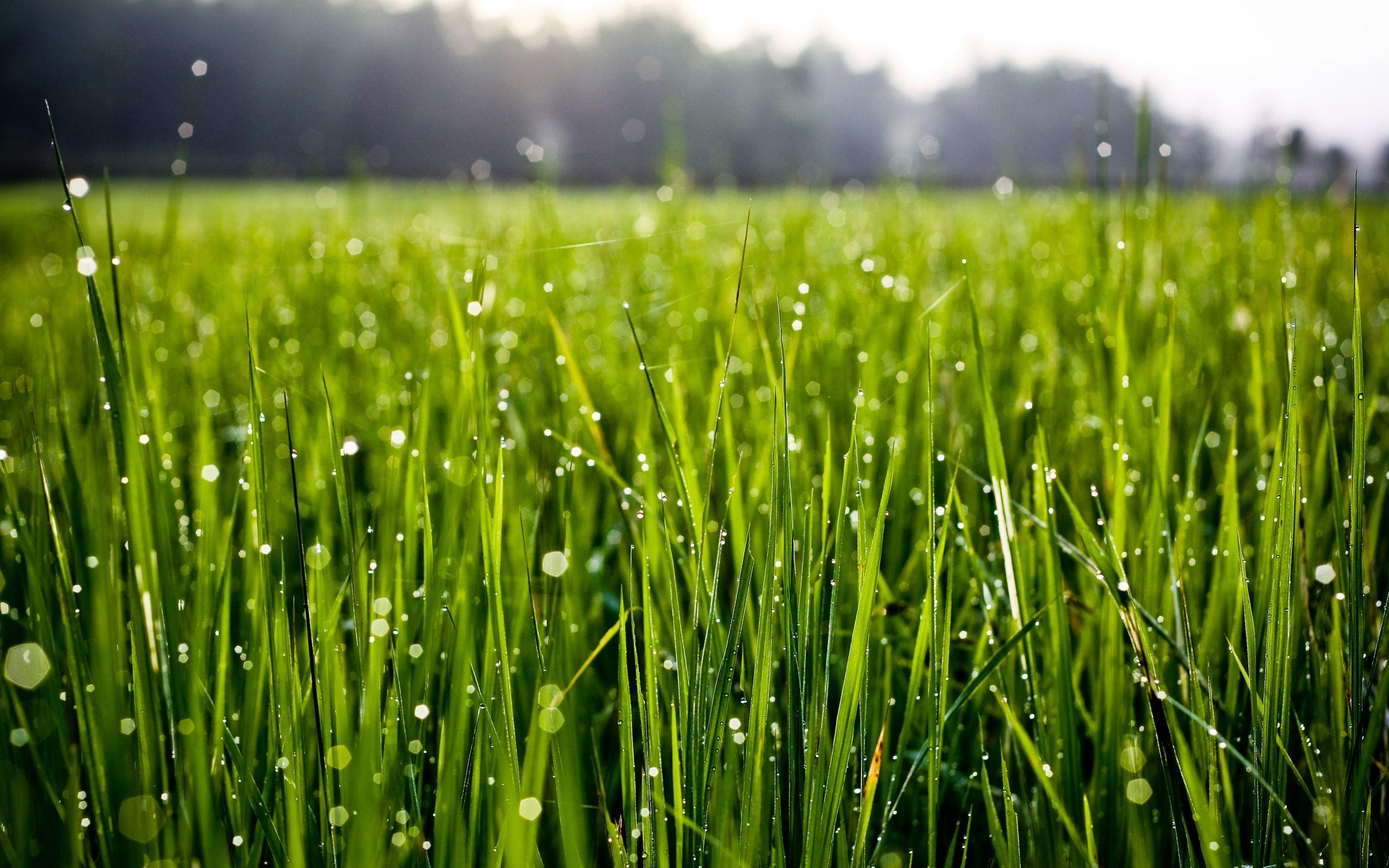Grass Morning Dew