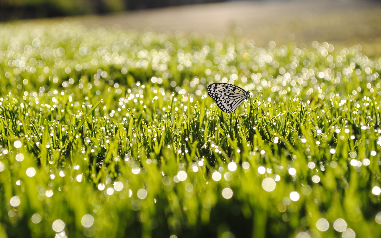 Grass sunrise butterfly