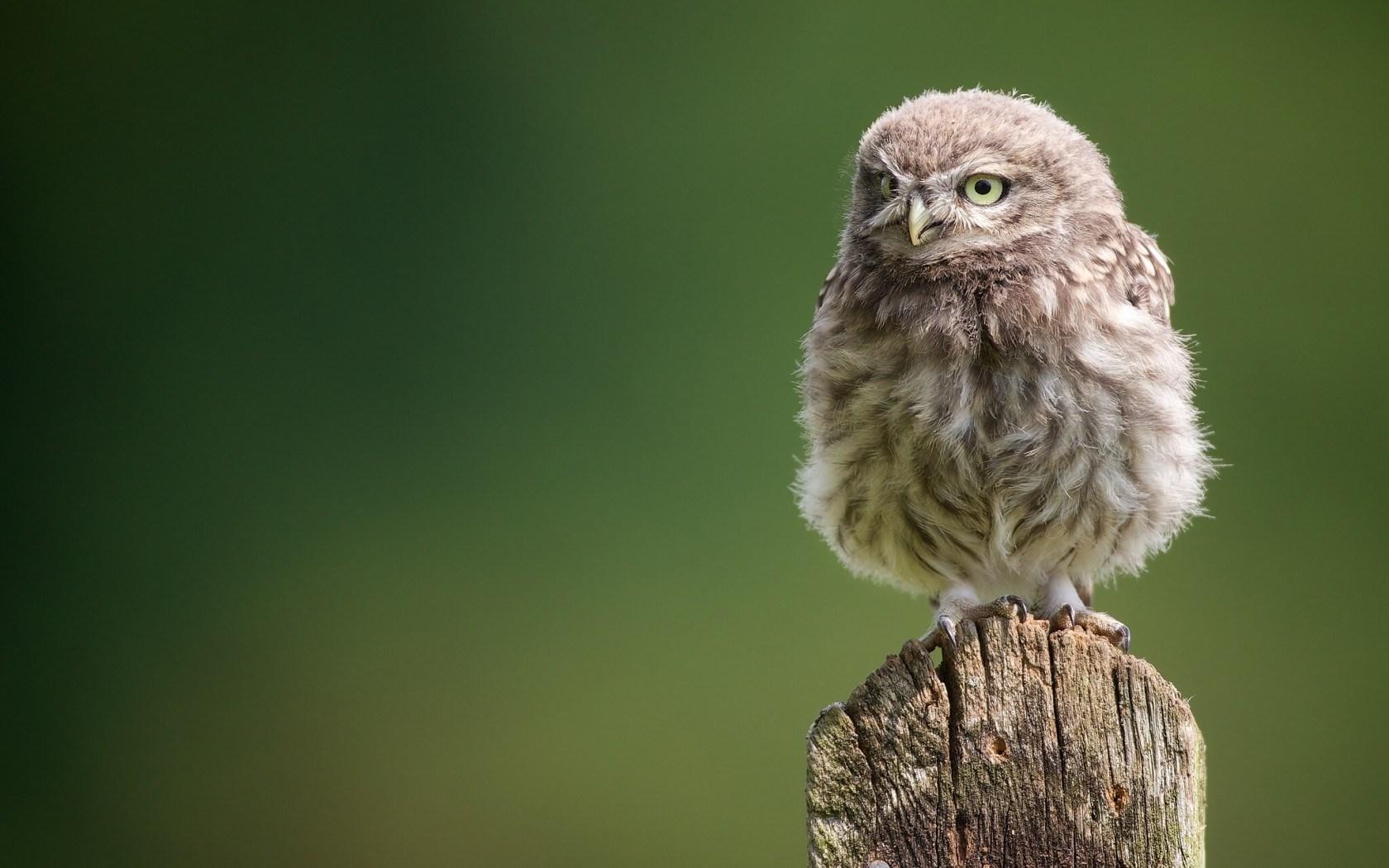 Tree Stump Owl Bird