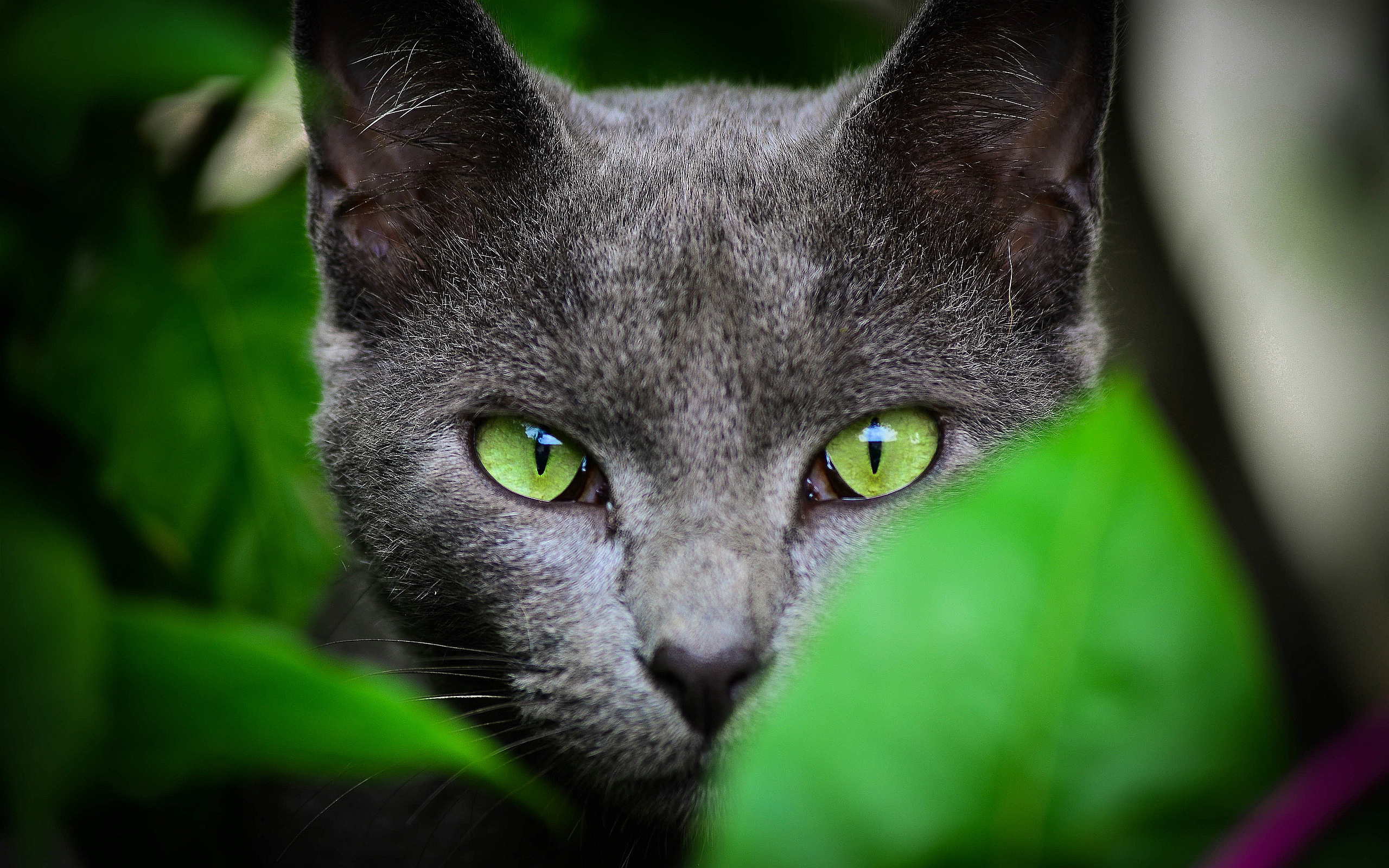 Green eyes grey cat