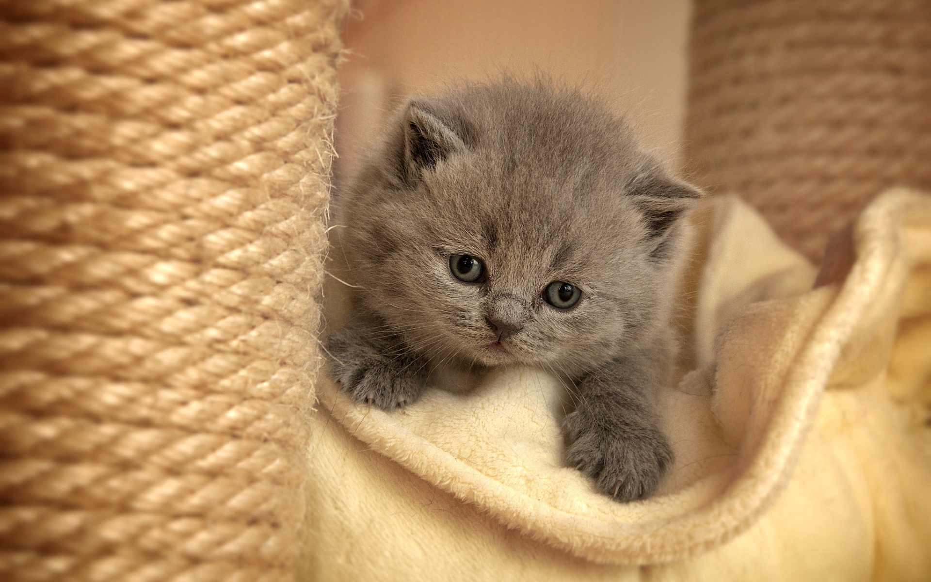 Gray furry kitten