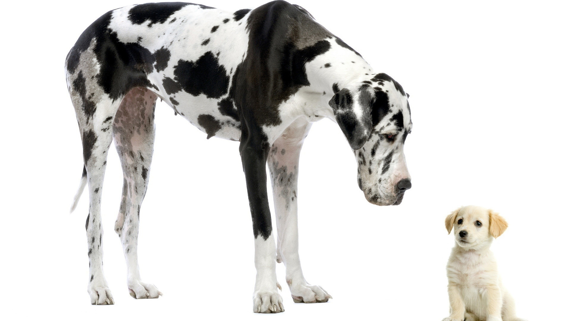 Great Dane New Wallpapers