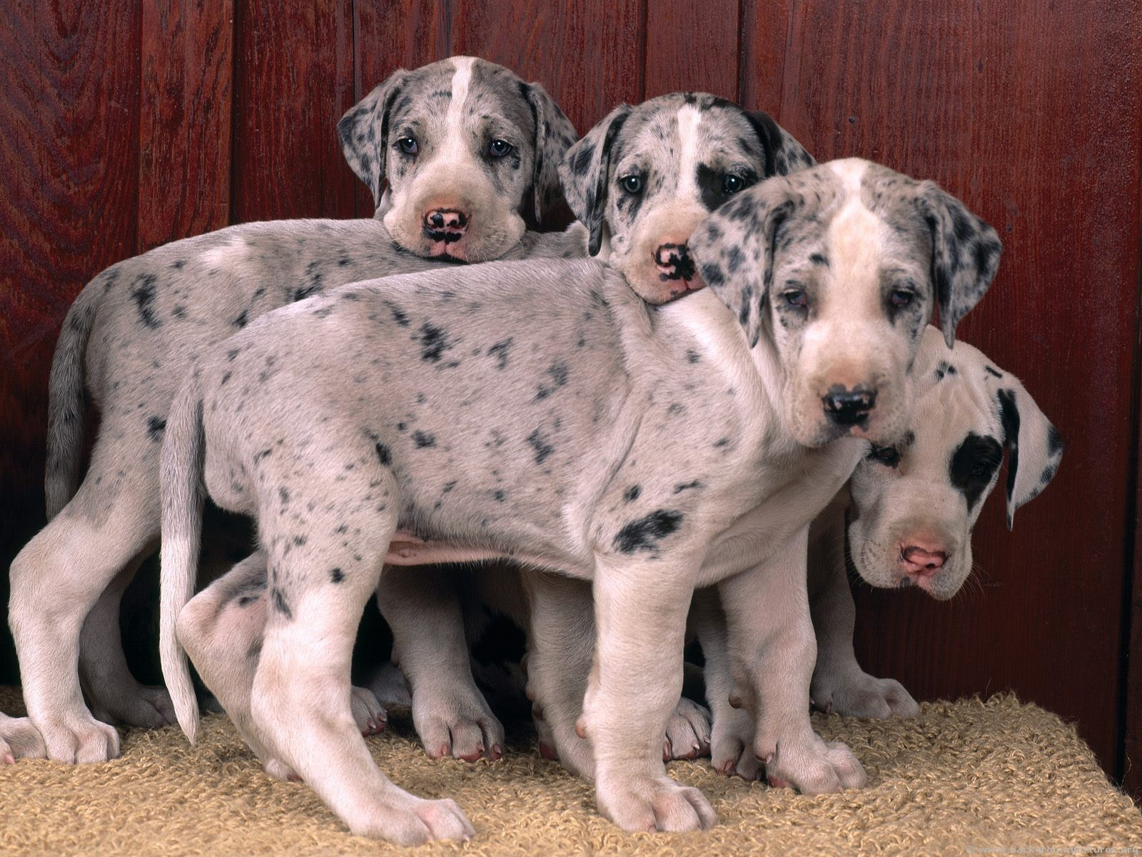 Great-Dane-puppy-great-danes-15342697-1600-1200
