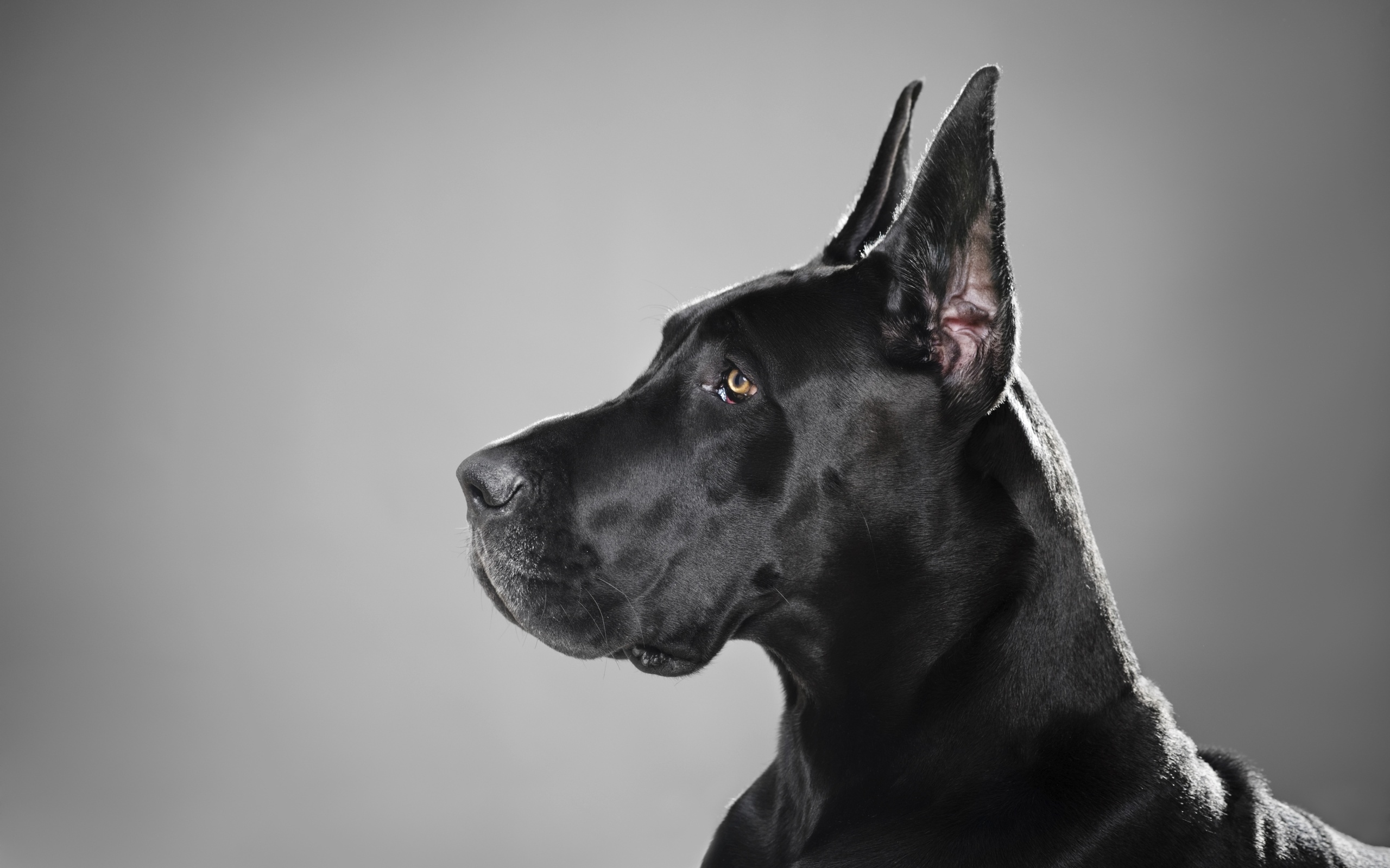Great Dane Wallpaper Great Dane Wallpaper Great Dane Wallpaper ...