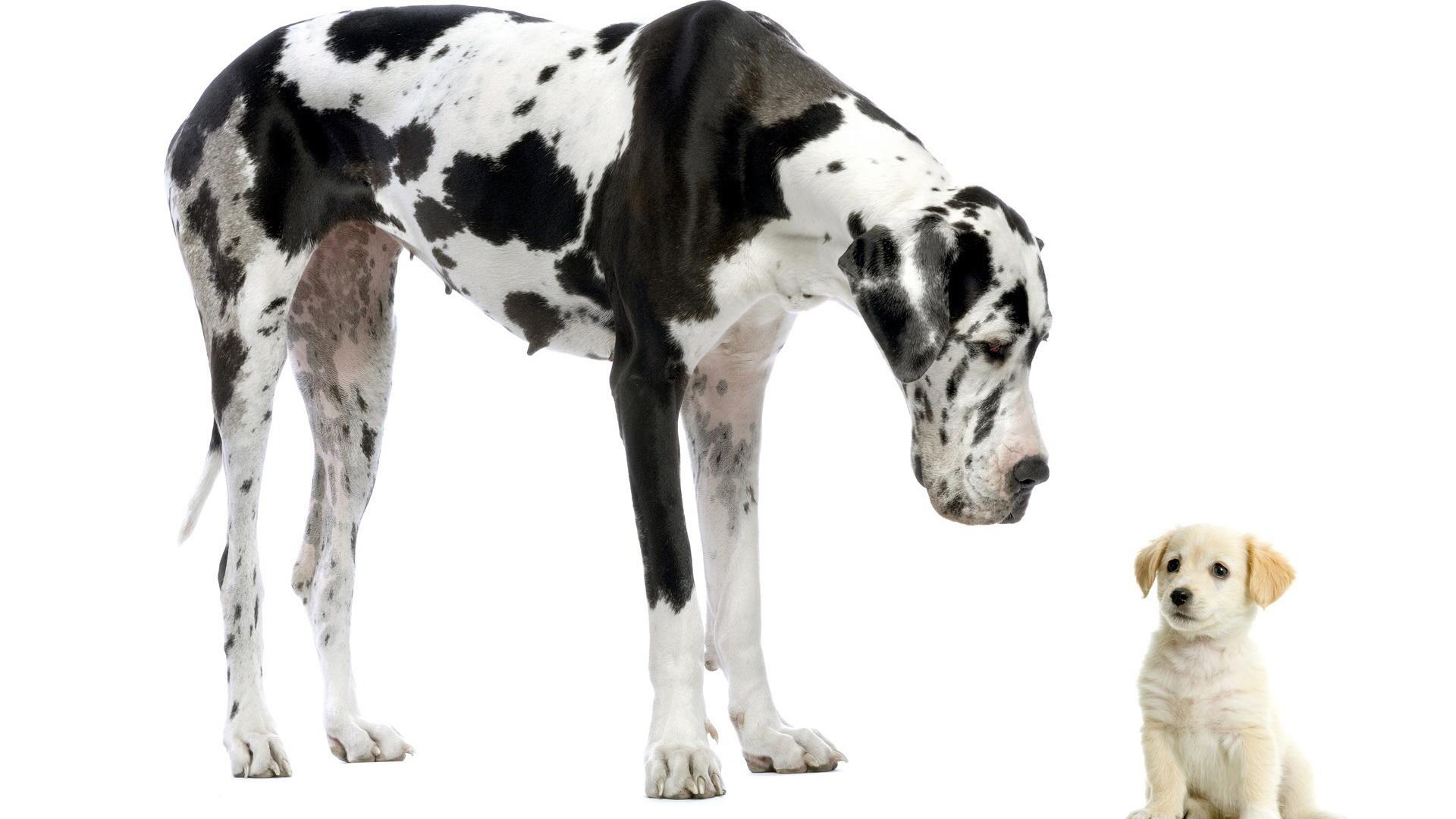 HD Wallpaper | Background ID:375995. 1920x1080 Animal Great Dane