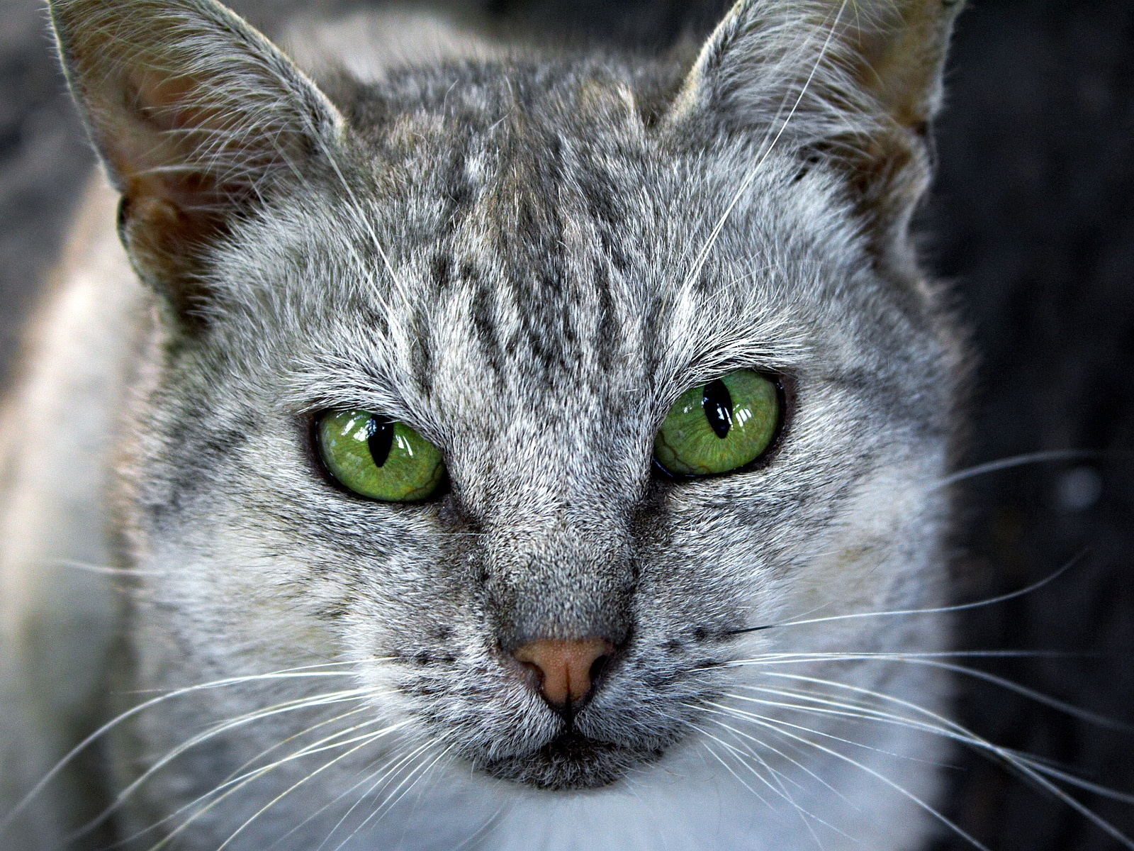 Description: The Wallpaper above is Grey cat green eyes Wallpaper in Resolution 1600x1200. Choose your Resolution and Download Grey cat green eyes Wallpaper